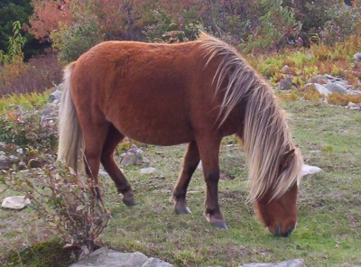 A feral pony in Mount Rogers National Recreation Area in southern Virginia