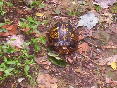 A handspan-sized turtle with a brown shell mottled with yellow