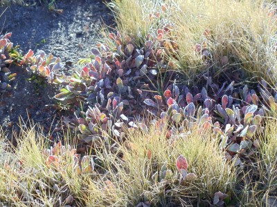 Brownish grass surrounds patches of ground-hugging plants with reddish leaves, all covered in frost from the night