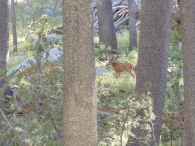 A mother mule deer and her white-spotted fawn, seen through trees near Lyell Fork