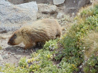 A marmot forages for food near ground-hugging alpine vegetation