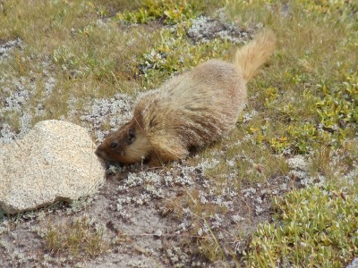 A marmot sniffs at a rock