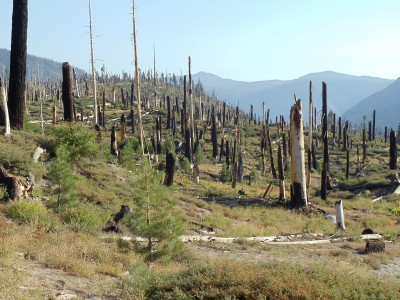 Numerous short (under twenty feet) denuded, burnt tree trunks cover the hillside; new tree growth is mostly limited to small (no taller than a person) conifers, amidst grass, shrubs, and other ground growth