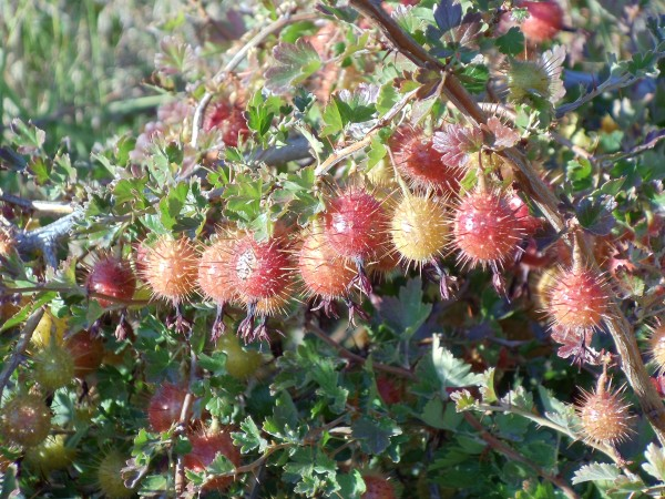 Reddish-yellow spiky berries surrounded by small green leaves