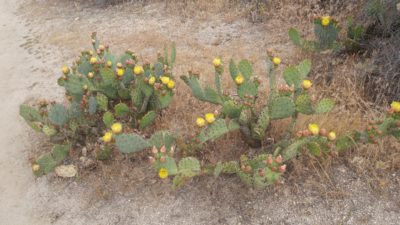 Apparent (?) prickly pear cacti